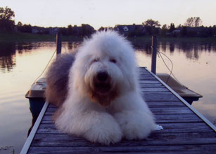 Female Old English Sheepdog